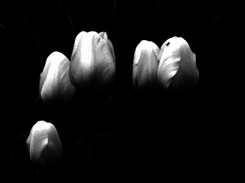tulipssylwiapresley